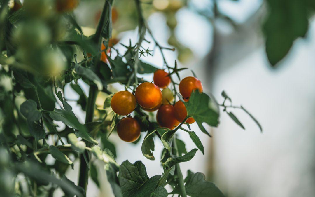 Ingrediënt in de spotlight: de tomaat